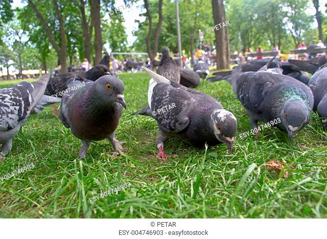 pigeon in park
