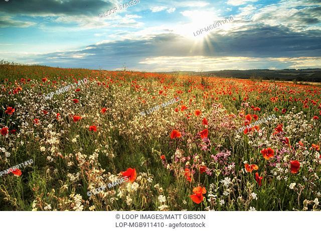 Poppy field landscape in Summer sunset light