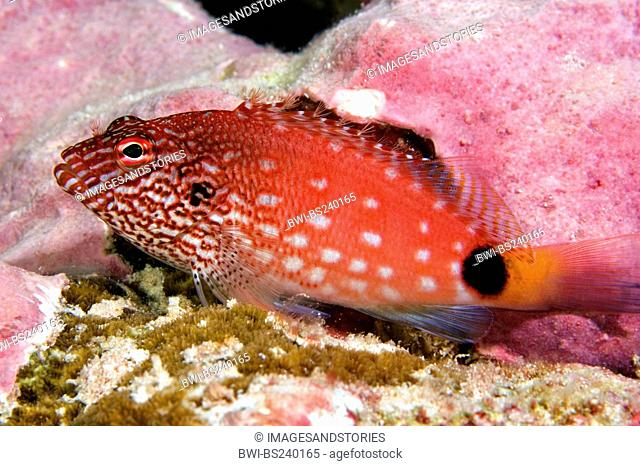 White spotted hawkfish Cirrhitops hubbardi, lateral view at the reef, Kiribati, Kiritimati