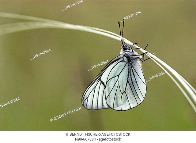 Black-veined white (Aporia crataegi), hanging on feather grass, dry meadow, National Park of Ecrins, French Alps, Haute Dauphiné, France