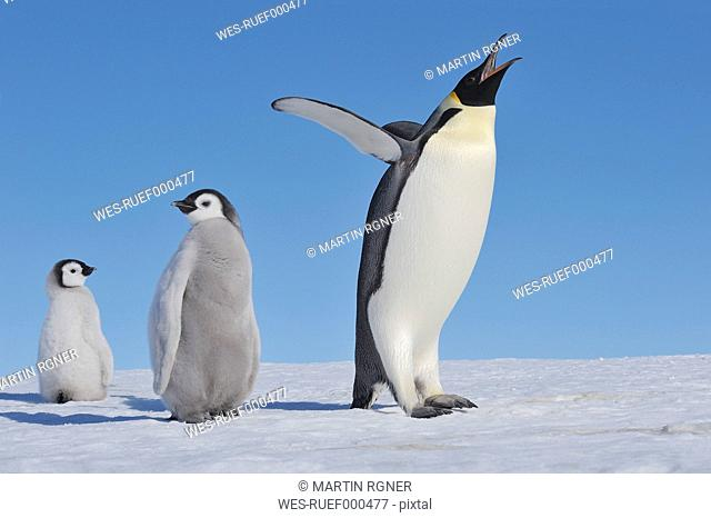 Antarctica, Antarctic Peninsula, Emperor penguin with chicks on snow hill island