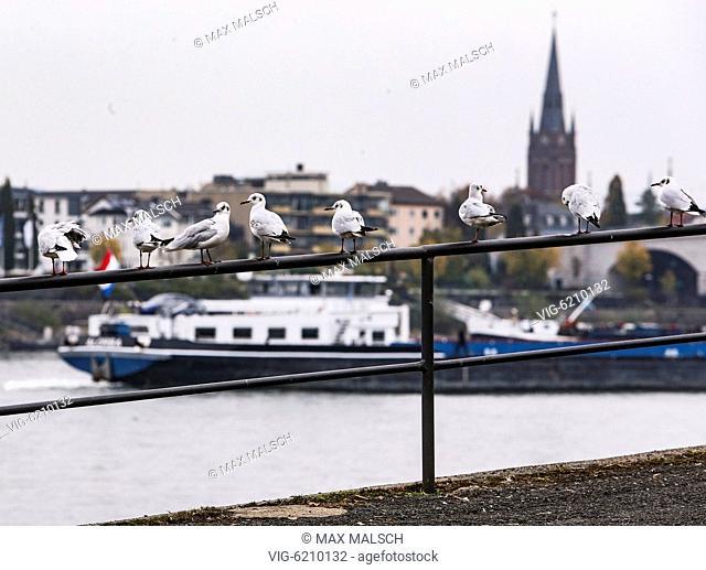GERMANY, BONN, 11/04/2018, Low tide on the Rhine. Gulls sits on a railing. - BONN, NORTH RHINE-WESTPHALIA, Germany, 04/11/2018
