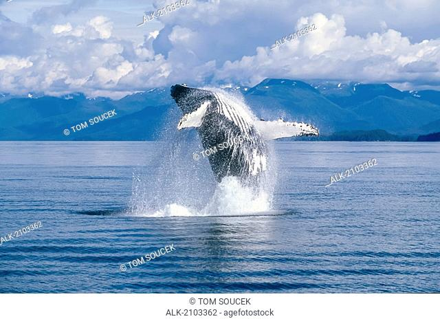 View Of A Humpback Whale Breaching In Frederick Sound, Tongass National Forest, Southeast Alaska, Summer