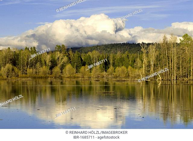 Trees on the banks of the Snake River, Oxbow Bend, Grand Teton National Park, Wyoming, USA, America
