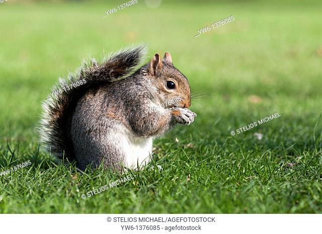 Grey squirrel eating close up,London,England