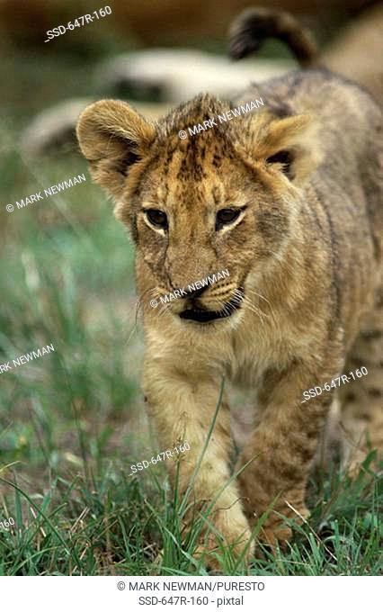 Juvenile lion walking in grass