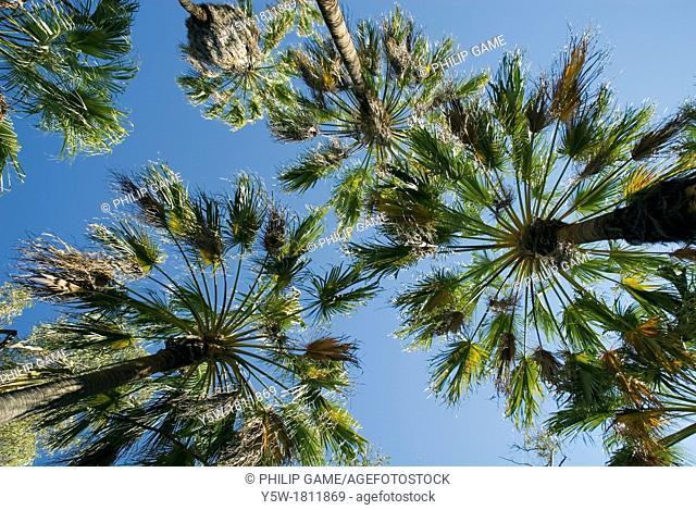 Red cabbage palms, Livingstona mariae, Palm Valley, Finke Gorge National Park, Central Australia
