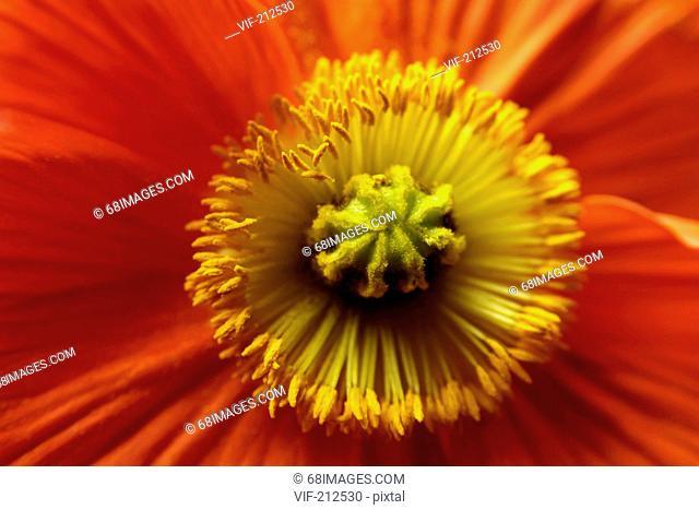 orangefarbener Mohn der Kanarischen Inseln, poppy flower. - Hamburg, GERMANY, 01/01/2006