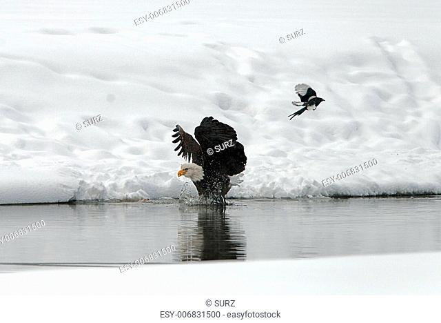 Bald Eagle Haliaeetus leucocephalus landed on water with wings spread backward