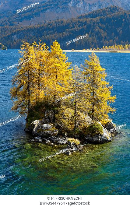common larch, European larch (Larix decidua, Larix europaea), group of larches in autum on an little island in lake Silsersee, Switzerland, Grisons, Engadine
