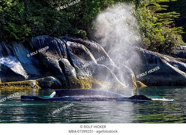 Humpback whales swimming close to the shore in Broughton Archipelago Provincial Marine Park off Vancouver Island, British Columbia, Canada