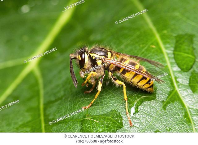A female Downy Yellowjacket (Vespula flavopilosa) eats her caught prey while perching on a leaf
