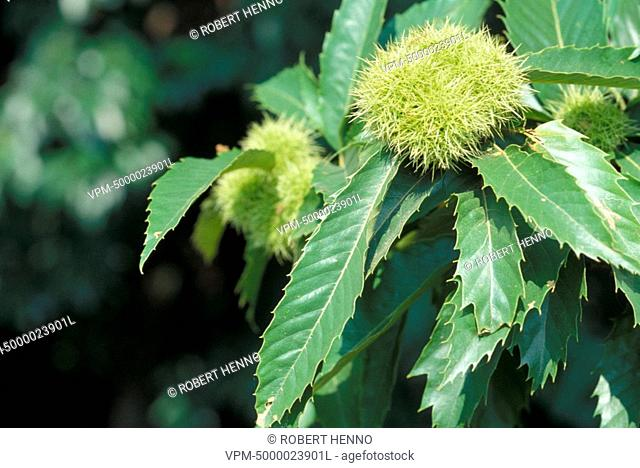 CASTANEA SATIVASPANISH CHESTNUT - EUROPEAN CHESTNUT - SWEET CHESTNUT