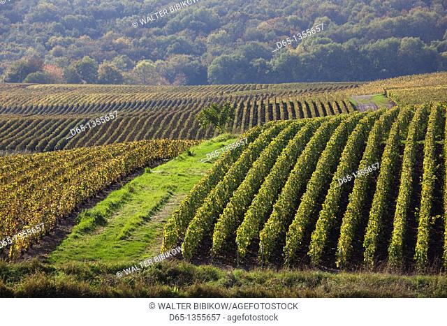 France, Marne, Champagne Region, Montvoisin, vineyards