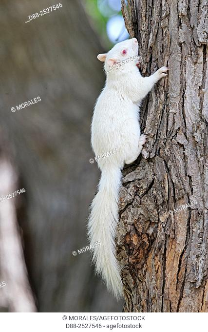 United States, Minnesota, Eastern gray squirrel or grey squirrel Sciurus carolinensis, albino adult on a tree