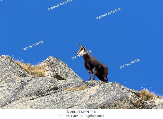 Chamois (Rupicapra rupicapra) male on rocky mountain ridge in winter in the European Alps