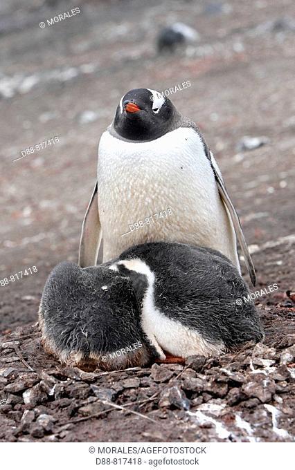 Gentoo Penguin(Pygoscelis papua papua). Hannah Point, Livingston Island, South Shetland Islands, Antarctica