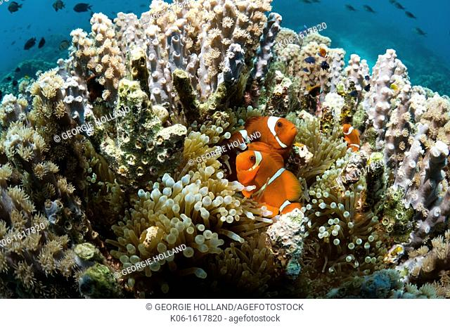 Spinecheek anemonefish Premnas biaculeatus in host anemone in coral Goniopora sp Bunaken National Park, North Sulawesi, Indonesia
