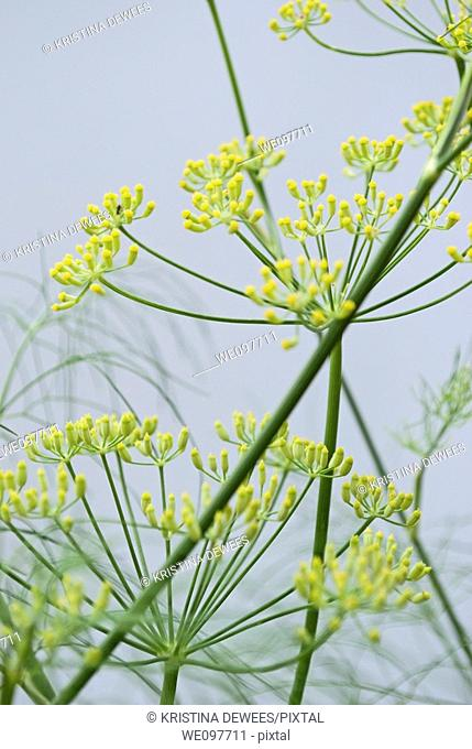 A blooming fennel plant on a white background