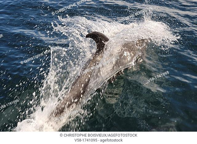Mexico, Baja California, Bottlenose dolphin Tursiops