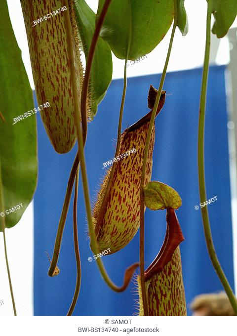 pitcher plant (Nepenthes spec.), close-up of the traps