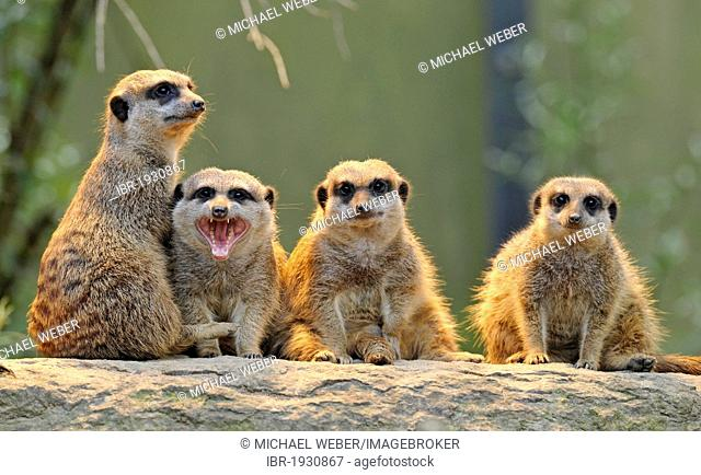Meerkats (Suricata suricatta), group, young