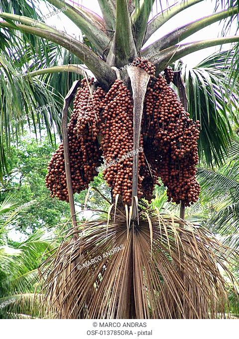 a natural palm cocoa tree fruits seeds