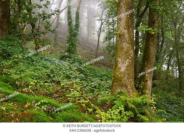 Mature ancient woodland, cleared of conifers with no understorey or shrub layer, Wales, UK