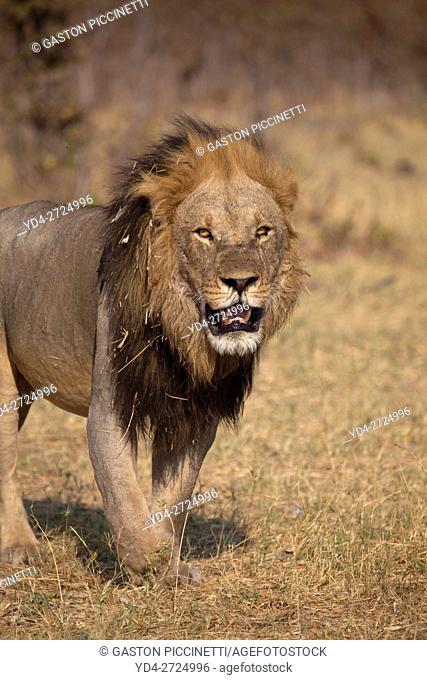 African lion (Panthera leo) - Male, Chobe National Park, Botswana