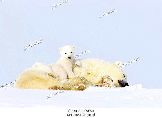 Polar bear ursus maritimus cub sitting on her mother at wapusk national park, manitoba canada