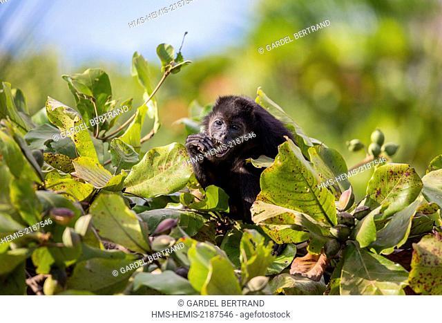Costa Rica, Guanacaste province, Nicoya Peninsula, near Tamarindo, Playa Avellana, capuchin monkey