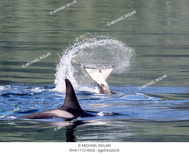 Resident killer whale, Orcinus orca, tail throw in Chatham Strait, Southeast Alaska, United States of America