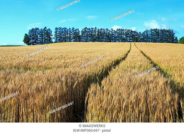 Ripe wheat in field with trees in backgrounds