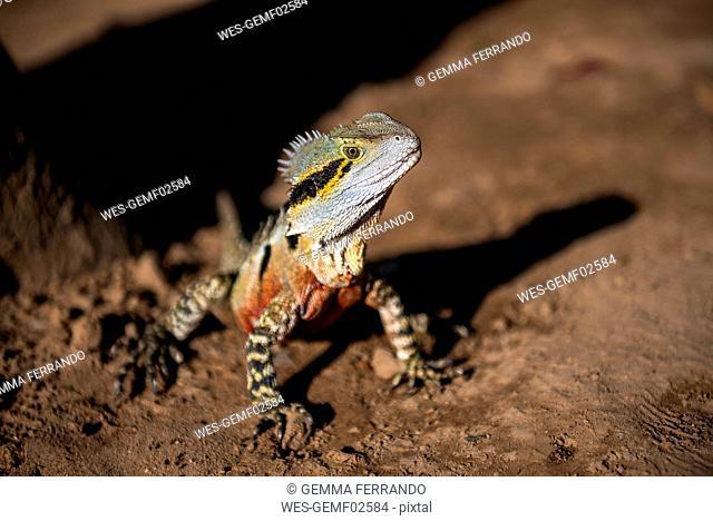 Australia, Queensland, Brisbane, portrait of Iguana