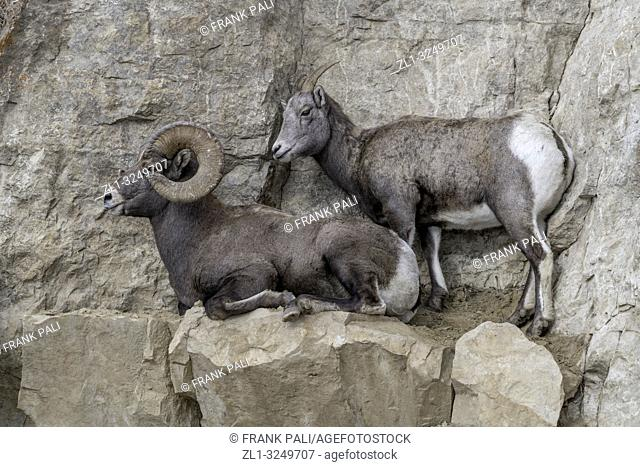 An adult male Bighorn sheep 'Ovis canadensis', standing on top of a rocky ridge with Ewe in lamar Valley Yellowstone National Park