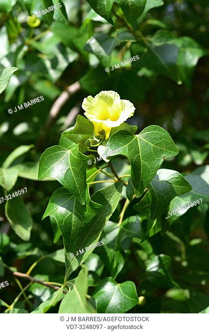 Small-leaved tulip tree (Thespesia acutiloba) is a semiperennial tree native to southern Africa. Flower and leaves detail