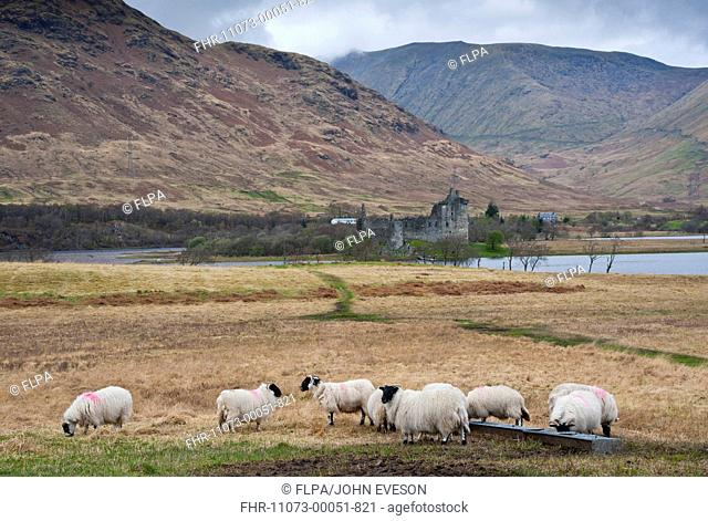 Domestic Sheep, Scottish Blackface, flock, standing at trough, with freshwater loch, castle ruin and hills in background, Loch Awe, Kilchurn Castle, Dalmally