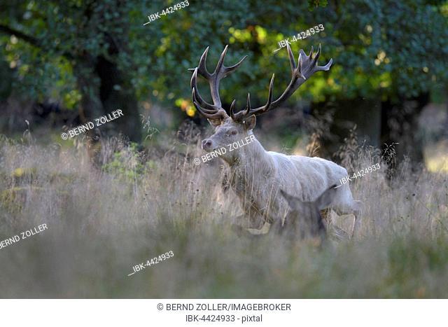 Red deer (Cervus elaphus), rutting stag in tall grass, white morph, Zealand, Denmark