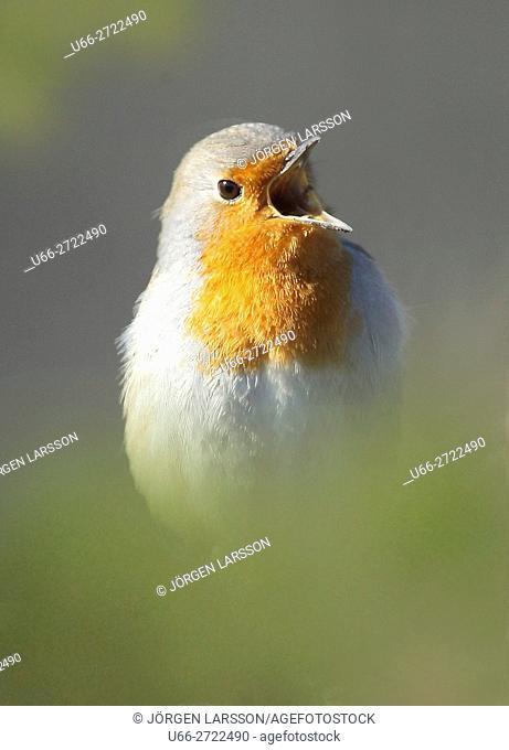 Sweden, Stockholm, Robin (Erithacus rubecula) calling