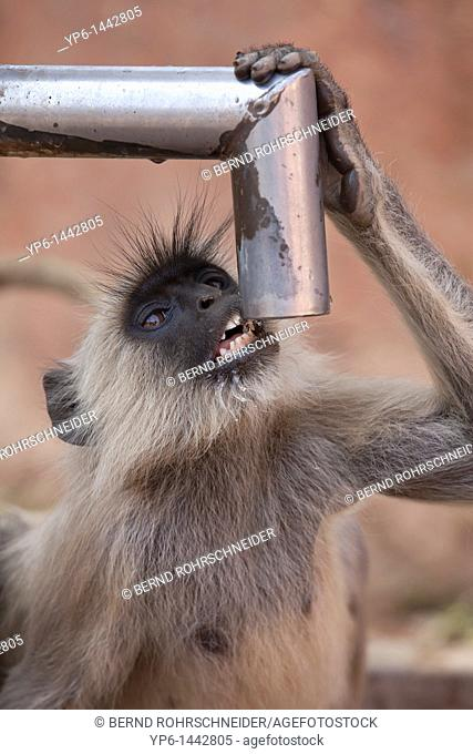 Southern plains gray langur Semnopithecus dussumieri drinking water from water pump, Ranthambore National Park, Rajasthan, India