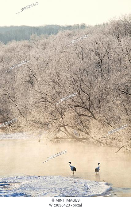 High angle view of two Red Crowned Cranes in frozen river in winter at dawn