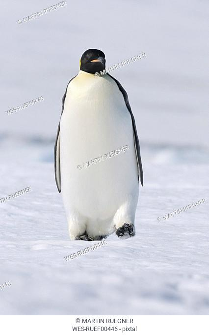 Antarctica, View of emperor penguin walking on snow
