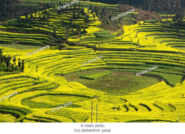 View of yellow field terraces with blooming oil seed rape plants, Luoping,Yunnan, China