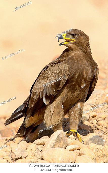 Steppe Eagle (Aquila nipalensis), on the ground, Salalah, Dhofar, Oman
