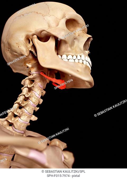 Human neck anatomy, illustration