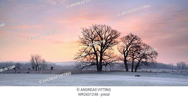 Leafless oak trees on a meadow in winter, hoarfrost, Nature Park Unteres Saaletal, Saalekreis district, Saxony Anhalt, Germany