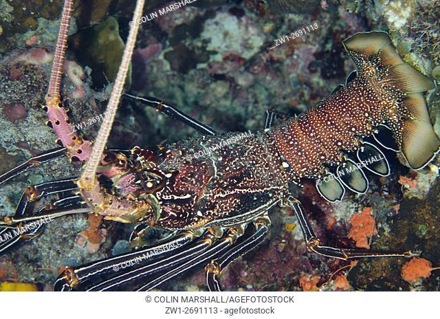 Spiny Lobster (Panulirus penicillatus), Night dive, Wagmab dive site, Balbulol Island, Misool, Raja Ampat (4 Kings), West Papua, Indonesia