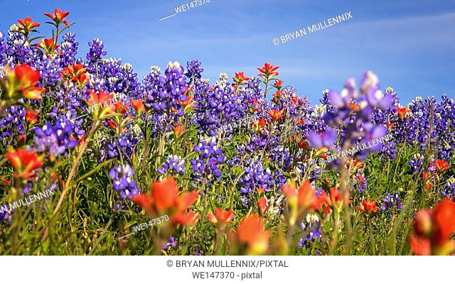 Wildflowers blooming in Texas Hill Country include Bluebonnets and Indian Paintbrush
