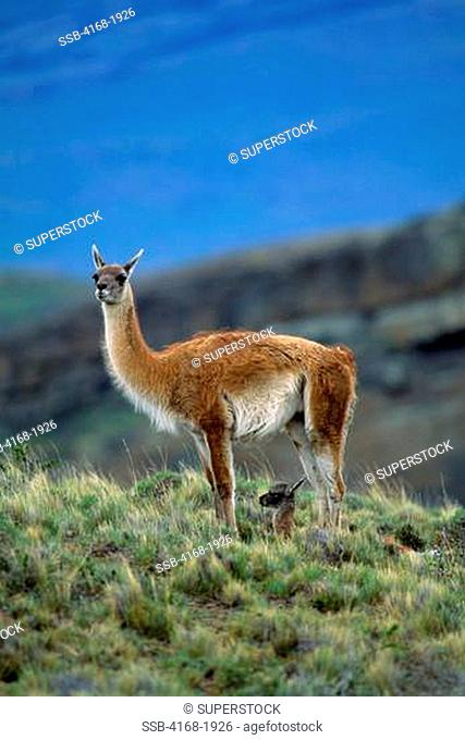 CHILE, TORRES DEL PAINE NAT'L PARK, GUANACOS, MOTHER WITH ABOUT ONE HOUR OLD NEWBORN