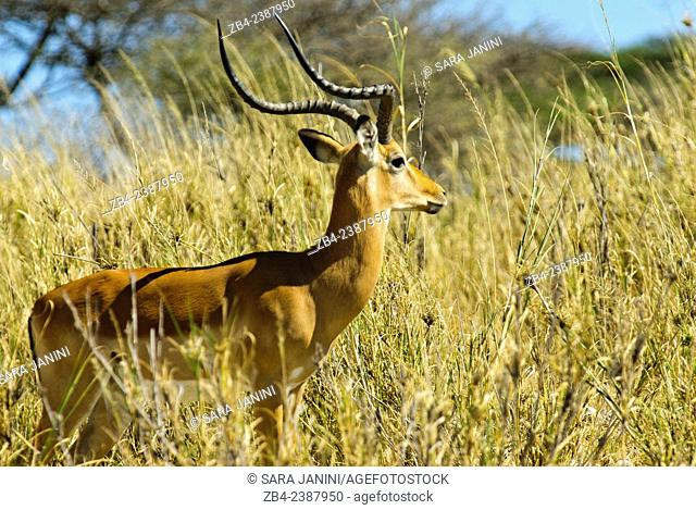 Impala (Aepyceros melampus), Ndutu Lake, Southern Serengeti National Park, Tanzania, East Africa
